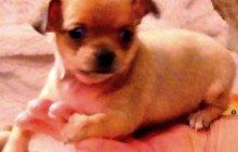 Продам щеночков Чихуахуа