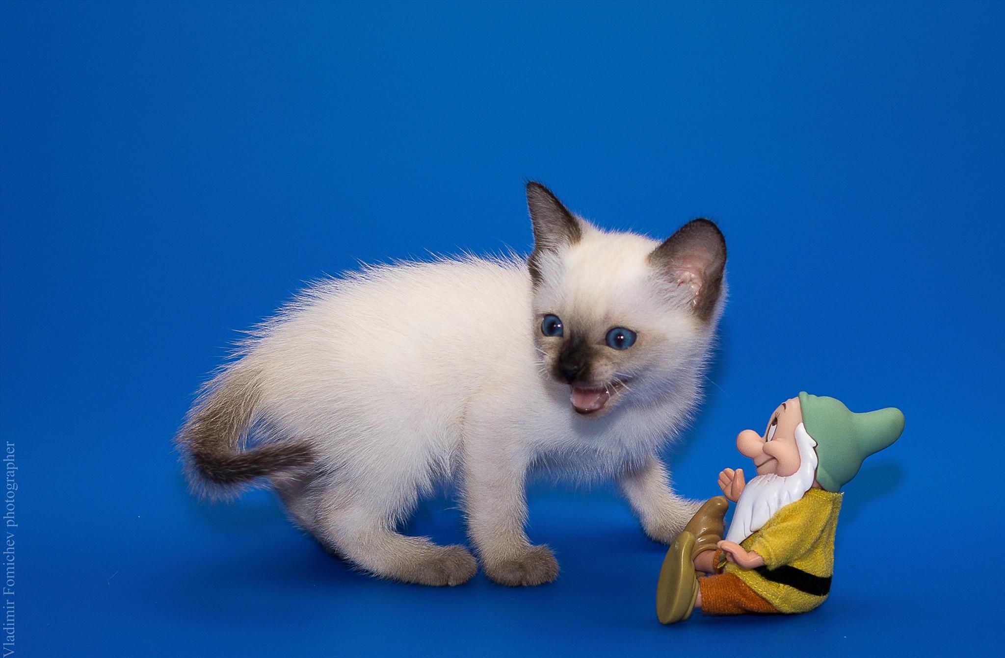 Отдам в дар тайскую кошку