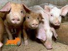 Фотография в Домашние животные Другие животные Продаём молочных поросят, 30-35 дней. 2-х в Санкт-Петербурге 6500