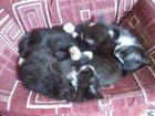 Изображение в   Отдам котят. родились 21апреля. самостоятельно в Санкт-Петербурге 0