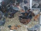 Изображение в Домашние животные Птички через 2 месяца будут нестись. пород очень в Санкт-Петербурге 400