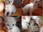 Фотография в Кошки и котята Продажа кошек и котят Ищу добрых хозяев для милых голубоглазых в Санкт-Петербурге 3500