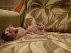 Фото в Кошки и котята Продажа кошек и котят Продаются Британские котята редкого и очень в Санкт-Петербурге 10000