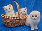 Фото в Кошки и котята Продажа кошек и котят г. Санкт-Петербург   ПРОДАЖА! ЧИСТОКРОВНЫЕ в Санкт-Петербурге 15000
