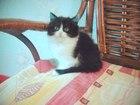 Фотография в Кошки и котята Продажа кошек и котят Восхитительная девочка шоколад и белое 2 в Санкт-Петербурге 5500