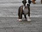 Изображение в Собаки и щенки Продажа собак, щенков питомник предлагает щенков боксера. Документы в Санкт-Петербурге 30000