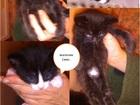 Изображение в Кошки и котята Продажа кошек и котят https:/vk. com/id49383662?w=wall4938 3662_367%2Fallфото в Санкт-Петербурге 10