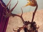 Фото в Мебель и интерьер Антиквариат, предметы искусства Рога оленя в отличном состоянии  Подставка в Санкт-Петербурге 0