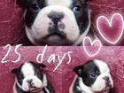 Изображение в Собаки и щенки Продажа собак, щенков Великолепный мальчик бостон терьера, титулованые в Санкт-Петербурге 65000