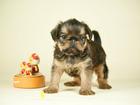 Фото в Собаки и щенки Продажа собак, щенков Мальчик, яркий, отличный экстерьер, плановый в Санкт-Петербурге 18000