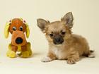 Фото в Собаки и щенки Продажа собак, щенков Длинношерстных чихуахуа нежных оттенков палевых в Санкт-Петербурге 0