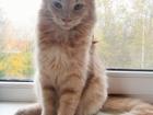 Фото в Кошки и котята Продажа кошек и котят Предлагается котик карельского бобтейла, в Санкт-Петербурге 3000