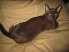 Фотография в Кошки и котята Вязка Молодой бурманский котик соболиного окраса в Санкт-Петербурге 5000
