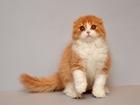 Фото в Кошки и котята Продажа кошек и котят предлагаю шотландскую вислоухую девочку красного в Санкт-Петербурге 20000