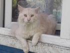 Увидеть фотографию Вязка котик МЭЙН-КУН 37697825 в Санкт-Петербурге