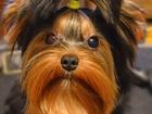 Foto в Собаки и щенки Стрижка собак Если вы хотите видеть своё дорогую собачку в Санкт-Петербурге 500