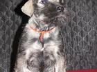 Изображение в Собаки и щенки Продажа собак, щенков Продается щенок шнауцера, окрас п/с, девочка, в Санкт-Петербурге 20000