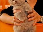 Фото в Кошки и котята Продажа кошек и котят привита полностью, документы клуба, очень в Санкт-Петербурге 25000