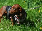 Изображение в Собаки и щенки Вязка собак Красивый мальчик, крупный вес 15кг, возраст в Санкт-Петербурге 0