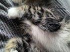Ищем кота для вязки, желательно породы Мейн-кун или метиса