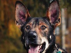 Большой доброжелательный пёс, умеющий петь