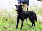 Скачать изображение  Талантливый, воспитанный, весёлый щенок-подросток 68201861 в Санкт-Петербурге