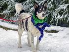 Новое изображение  Сказочно красивая и воспитанная собака 69087483 в Санкт-Петербурге