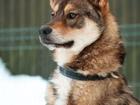 Скачать изображение Отдам даром - приму в дар Курносая лайка и просто супер-пес ищет дом 81391518 в Санкт-Петербурге