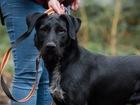 Смотреть фотографию Отдам даром - приму в дар Крупный красавец-пес, метис Ризеншнауцера, 1 год 82369708 в Санкт-Петербурге