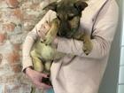 Новое фотографию Отдам даром - приму в дар Небольшие щеночки с короткими лапками 82923588 в Санкт-Петербурге