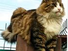 Скачать бесплатно фото  Крупная аристократичная кошка в лучшие руки 84199641 в Санкт-Петербурге
