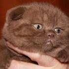 Шоколадные вислоухие котята