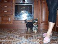Санкт-Петербург: Йорки - продаю щенков и взрослых, Вязка Продаю подростка Йоркширского терьера! Девочку 10 мес. Мини, вес - 1, 6 кг. Короткая мордашка (беби-фейс! ). П