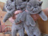 британские котята Предлагаем Британских котят возраст 1, 5 мес  Выращены в отлич