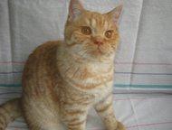 Британские породистые котята 3 и 6 месяцев в Санкт-Петербурге Продаются породист