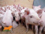 поросята мясных пород купить поросята месячные, сальной и мясо-сальной породы, к