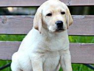 Щенки лабрадора ретривера Продаются щенки лабрадора ретривера. Возраст 2 месяца