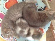 Шотландские котята Милые плюшевые, игривые и очень воспитанные котята шотландцы
