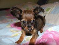 Породистый щенок той-терьера Продается породистый малыш той-терьера  Родился 24.