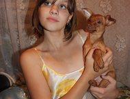 малыш русский той очень красивый щенок русский той ждет родителей!   министандар