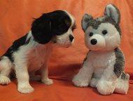 Продаются щенки Кавалер Кинг Чарльз спаниеля Предлагаются к резервированию щенки