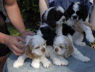 Продаем щенков Американского кокер-спаниеля Предлагаем к продаже породистых 2-ме