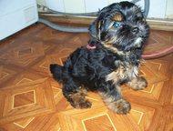 Йорки - продаются щенки и взрослые Продаю щенков, подростков и взрослых Йоркширс