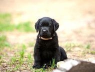 Щенки лабрадора ретривера ждут заботливых хозяев Питомник РКФ «Just Lab» предлагает щенков породы лабрадор ретривер черного окраса от чемпионов, прове, Санкт-Петербург - Продажа собак,  щенков