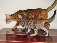 Продаю бенгальских котят есть коты и кошки Продаются бенгальские котята в Санкт-