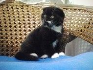 Фолд котенок Породистый вислоухий котик  идеальные породные данные  красивый умн