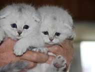 Шиншиллы серебристые,вислоухие,девочка и мальчик Продаются песцовые котята , окр