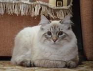 Невский маскарадный кот в разведении Молодой кот (1год) с хорошей родословной, п