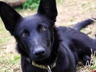 Эффектный и очень умный щенок-подросток Отдается в ответственные и заботливые ру
