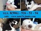 Изображение в Собаки и щенки Продажа собак, щенков Продаются первоклассные щеночки Сибирской в Саранске 0